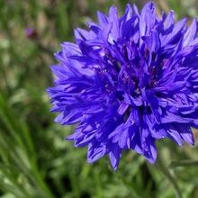 plant these 4 flowers indoors get sublime spring blooms for lesss, flowers, gardening, Cornflower