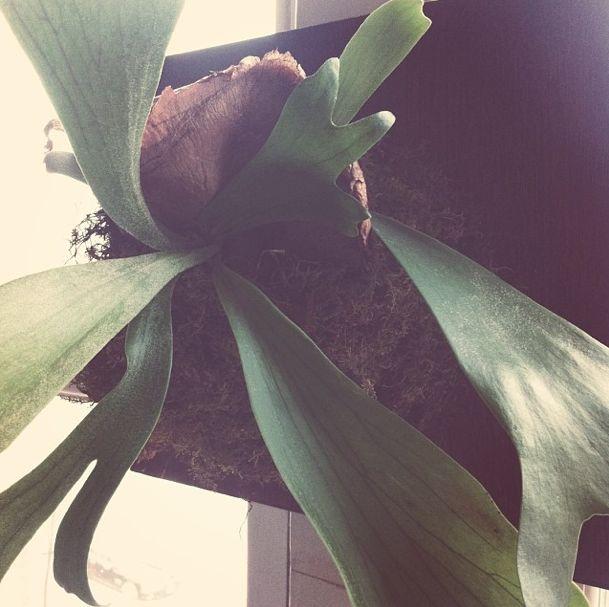 sustainable saturday diy staghorn fern mount, crafts, gardening, go green, home decor