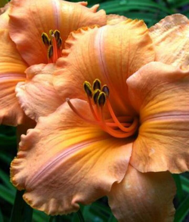 trying to grow daylilies from seeds, gardening