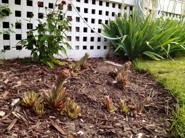 is this normal for sempervivum, gardening