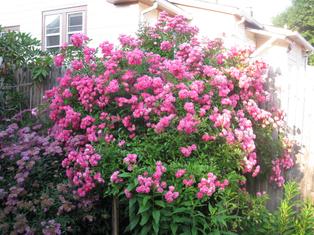 a rose by any other name would smell as sweet, gardening