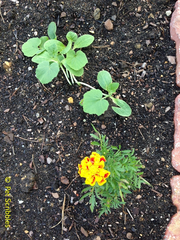 Marigolds in the Vegetable Garden? Yes and Here\'s Why!   Hometalk