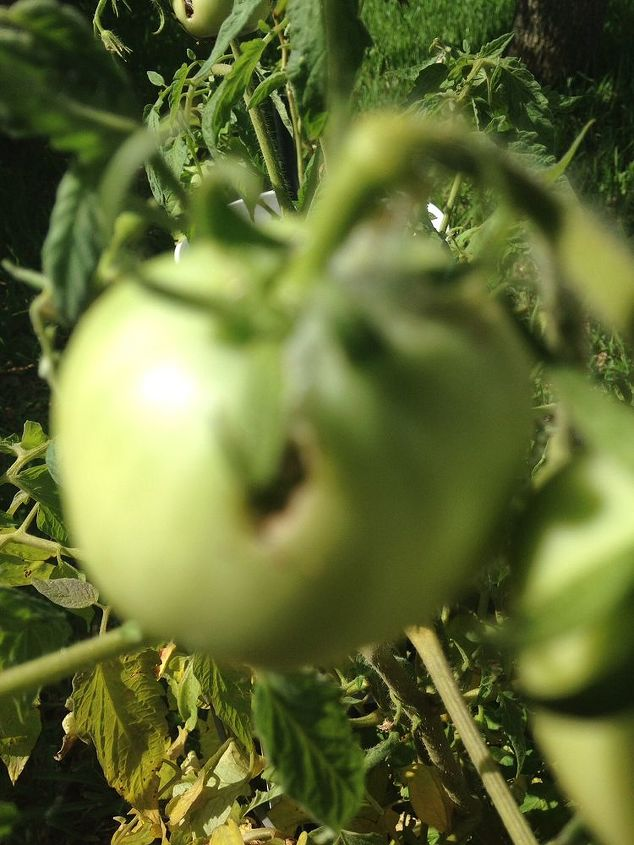 rotting tomatoes, container gardening, flowers, gardening, A blurry shot of the infamous hole