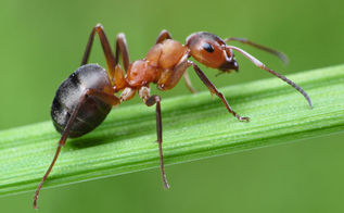 ant infestation information, pest control