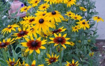black eyed susans an easy flowering beauty for the hot summer garden, flowers, gardening
