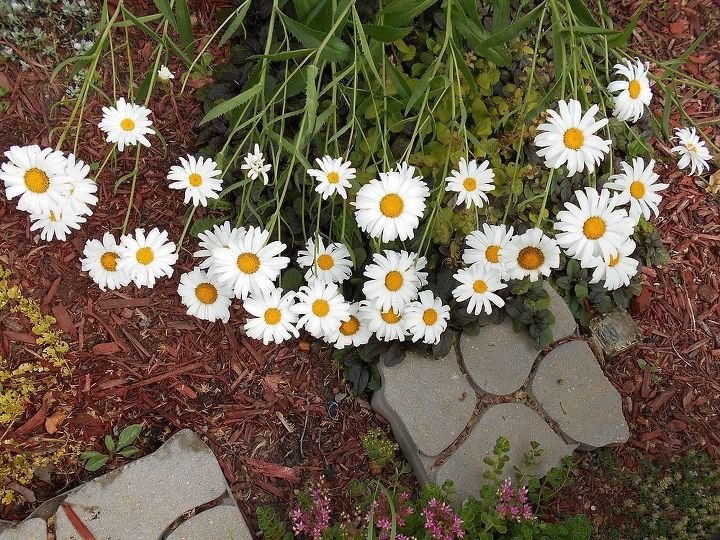 daisies are the bomb, flowers, gardening