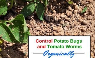 controlling potato bugs and tomato worms organically in the garden, gardening, pest control