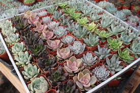 diy succulent party wedding favors, gardening, succulents, Purchased from Etsy at The Succulent Source