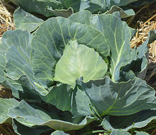 cabbage garden harvest tips, gardening, homesteading