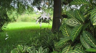 q hostas in florida, flowers, gardening