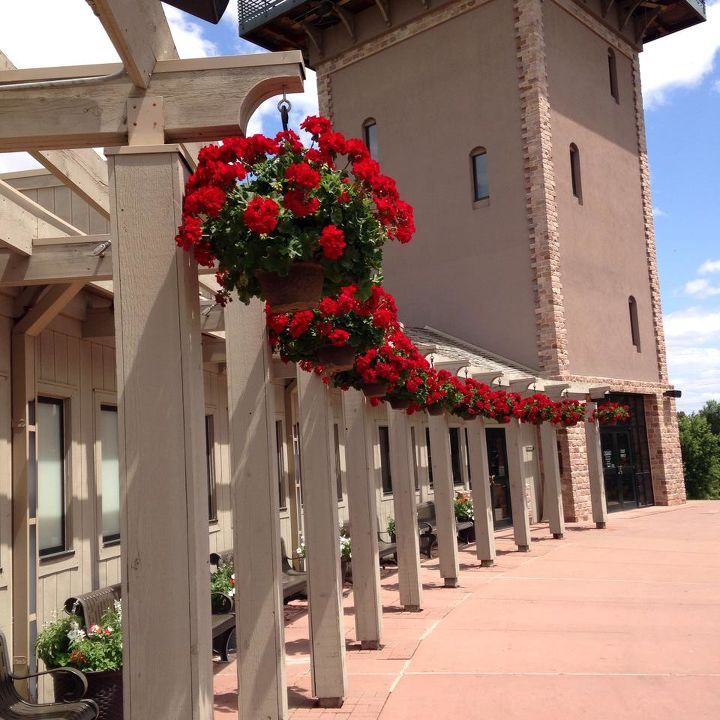 geraniums wintered hanging plants restore, container gardening, flowers, gardening, Falls Park Visitor s Center in Sioux Falls SD