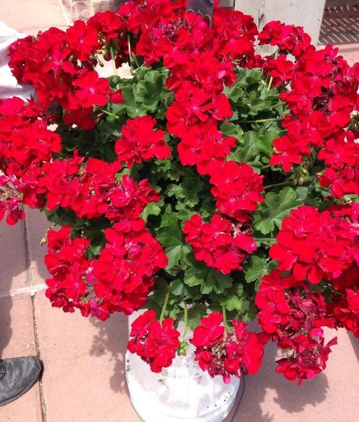 geraniums wintered hanging plants restore, container gardening, flowers, gardening