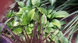 q hostas in florida, flowers, gardening, This is about 3 across what I bought as Sum and Substance