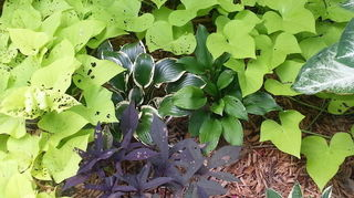 q hostas in florida, flowers, gardening, Here s two smaller ones 1 5 ea next to each other preparing to be swallowed by green potato vine I love the ipomoea for blocking out weeds in the early summer It also makes great free hanging pots along with impatiens cuttings
