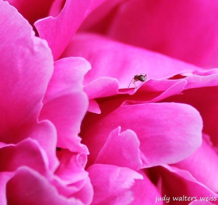peonies flower garden pink, flowers, gardening