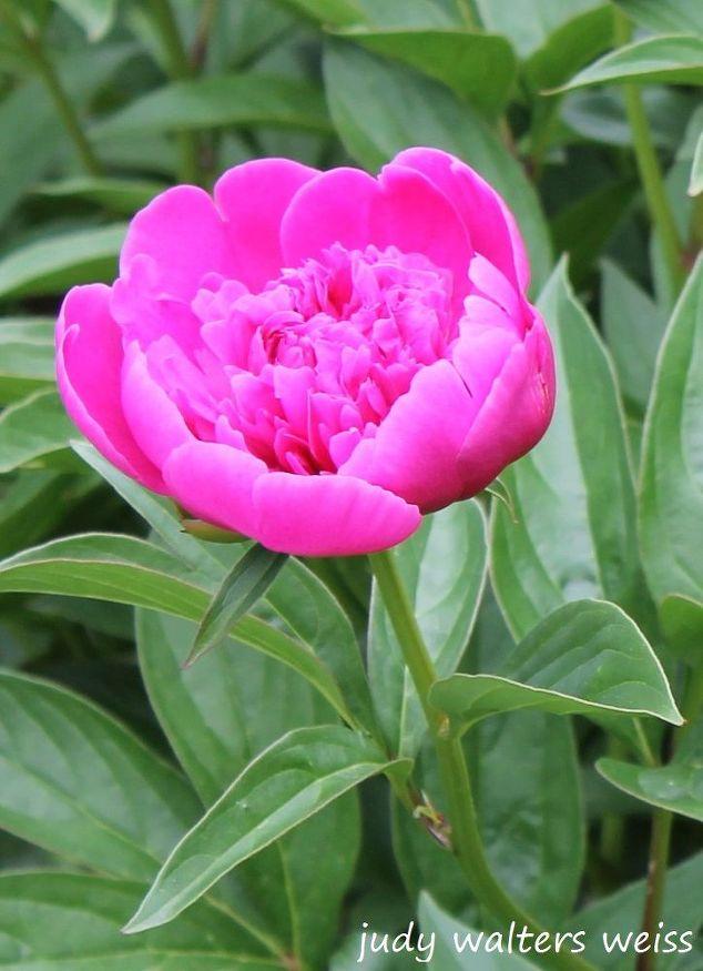 Pretty pink peony garden hometalk peonies flower garden pink flowers gardening mightylinksfo