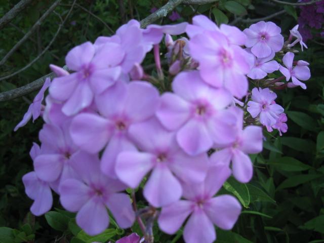 phlox flower garden homegrown, flowers, gardening