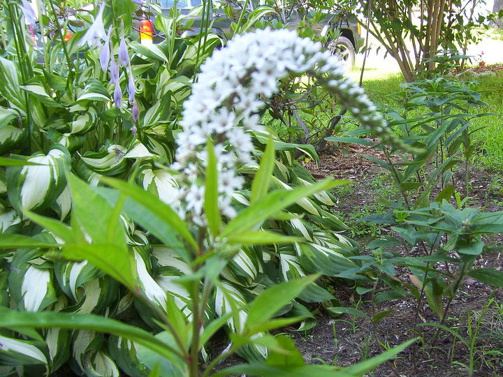 gooseneck loosestrife plant identified, gardening, landscape, what is the name of this plant