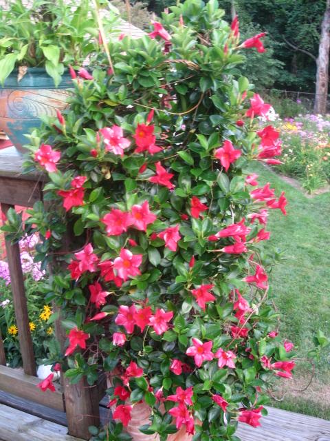 mandevilla vine garden flower connecticut, flowers, gardening