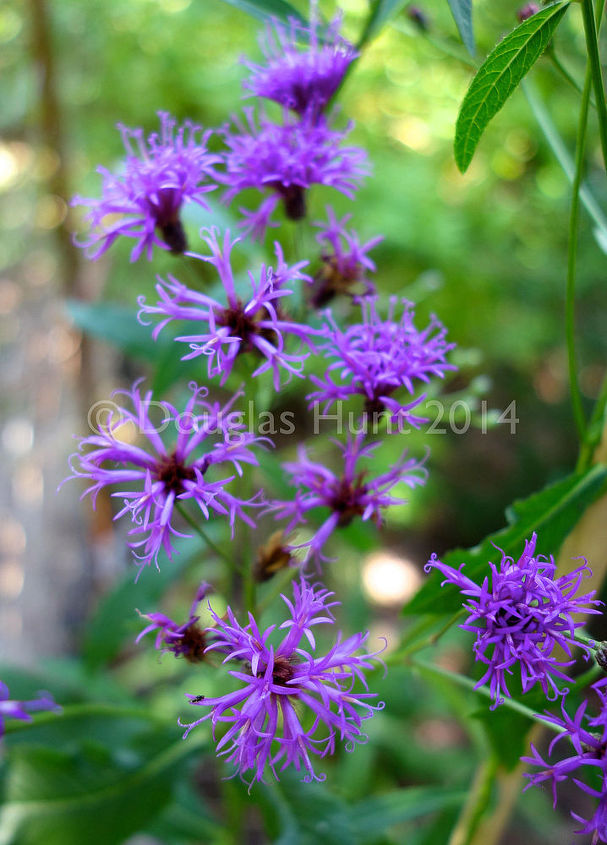 plant this ironweed, gardening