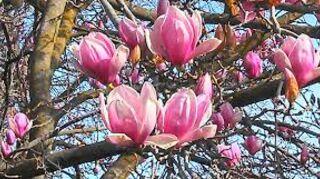 Pink Flowering Tree Hometalk