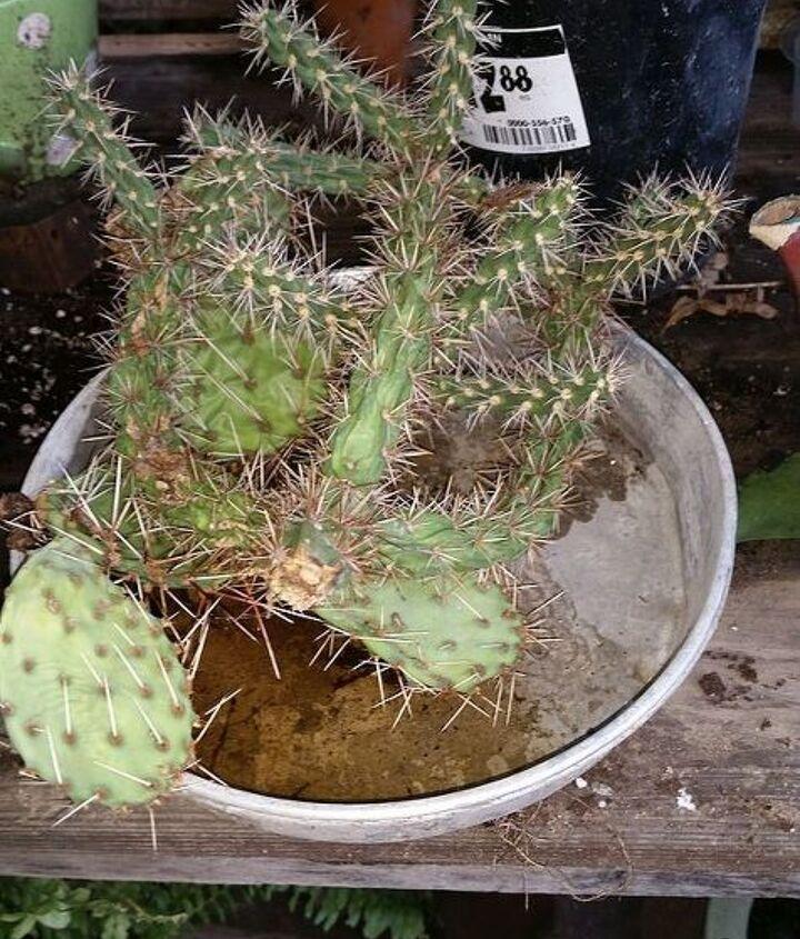 succulents gardening teapot cactus planter, gardening, succulents