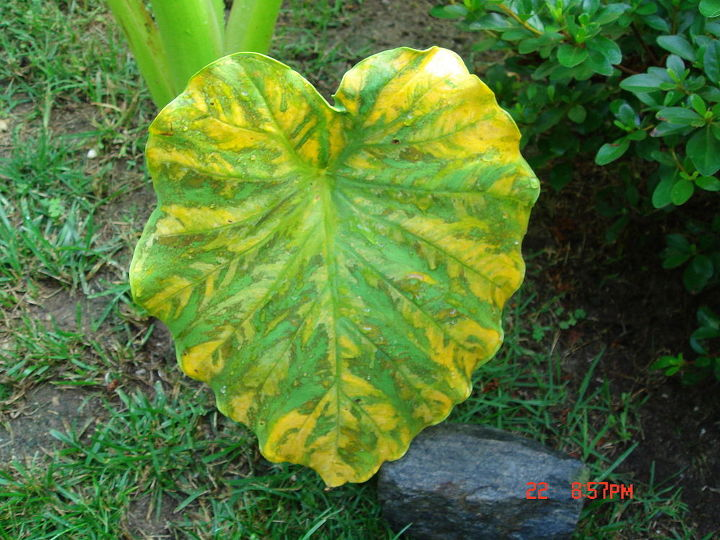elephant ear plant gardening issue, container gardening, gardening, landscape