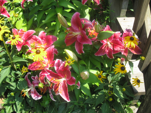 lilies garden blooming late, flowers, gardening