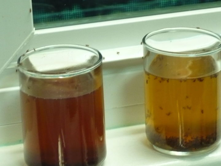 fruit fly solution remedy home made, pest control