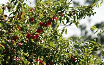Canning Plums - Delicious Spiced Plum Jam and Variations