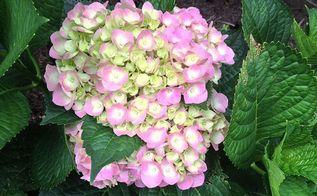 tips on growing hydrangeas, flowers, gardening, hydrangea, Hydrangea macrophylla Cityline