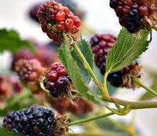 gardening harvest blackberries preserving, gardening, homesteading