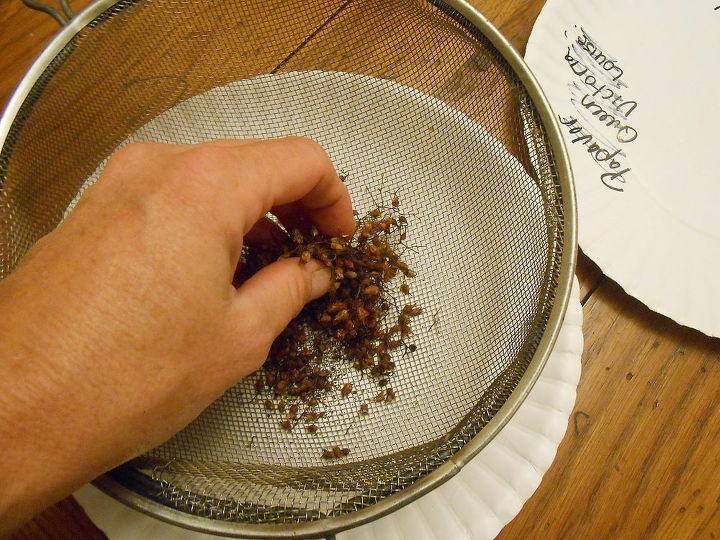 gardening heuchera seeds saving, gardening, perennial