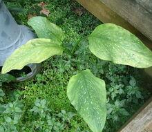 gardening calla lilies identification, gardening