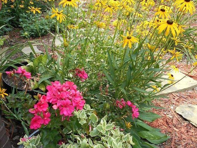 gardening black eyed susan flowers, flowers, gardening
