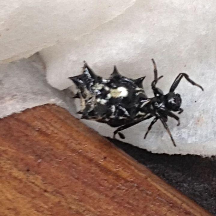 spider identification north carolina, pest control, pets animals