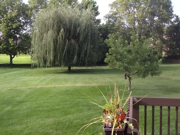 This is Bubba, our ten year old Willow tree. I forget the variety.