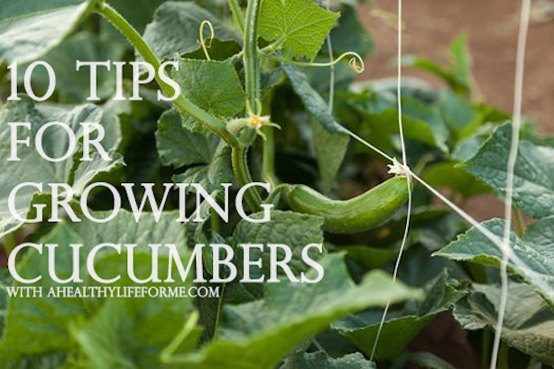 10 tips for growing cucumbers hometalk