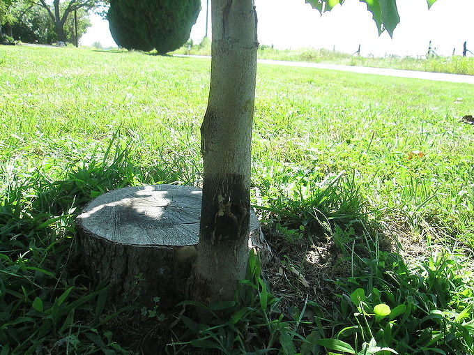 When To Trim Baby Sycamore Tree Hometalk