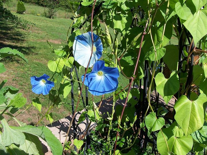 gardening morning glories bloom, flowers, gardening