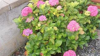 scottish garden, flowers, gardening, Hydrangea