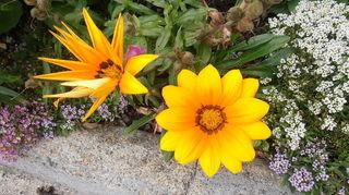 scottish garden, flowers, gardening, Ganzia