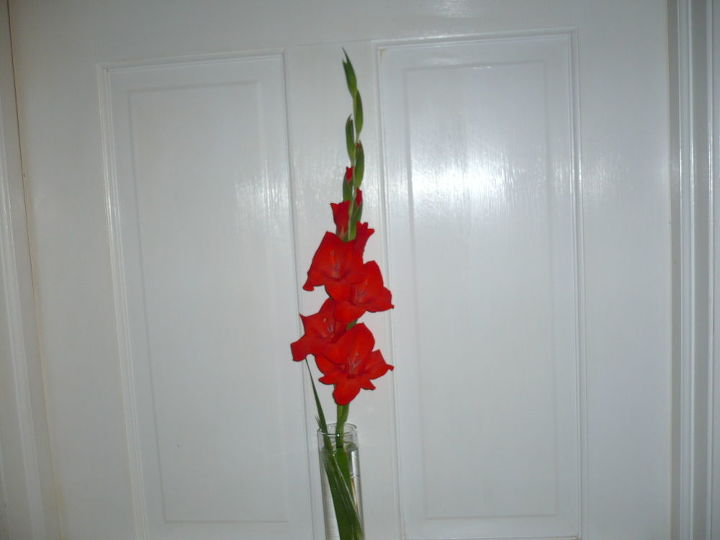 gardening gladiola first of the season, flowers