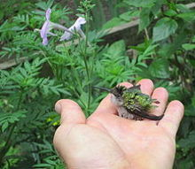 gardening hummingbird rescued, pets animals