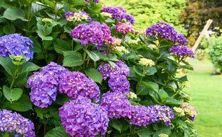 hydrangea grow prune dry decorate, flowers, gardening, home decor, hydrangea