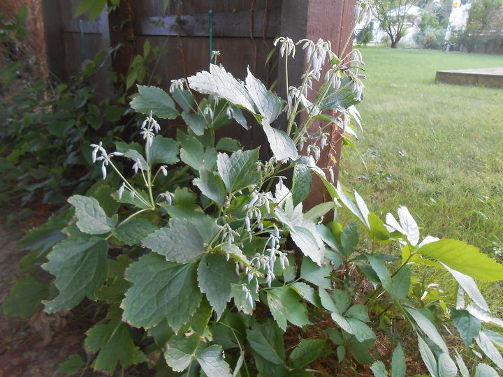 Clematis stans