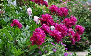 gardening peonies fall planting tips, flowers, gardening