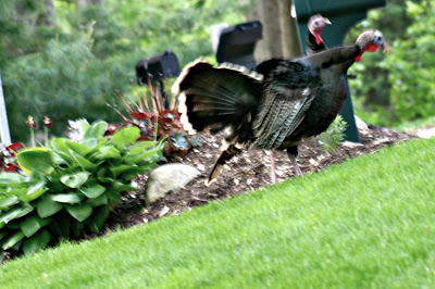 garden tips turkeys mulch beds keeping out, gardening, pest control, pets animals