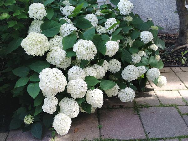 How to prune hydrangeas hometalk hydrangeas pruning tips tutorial gardening how to hydrangea mightylinksfo Image collections