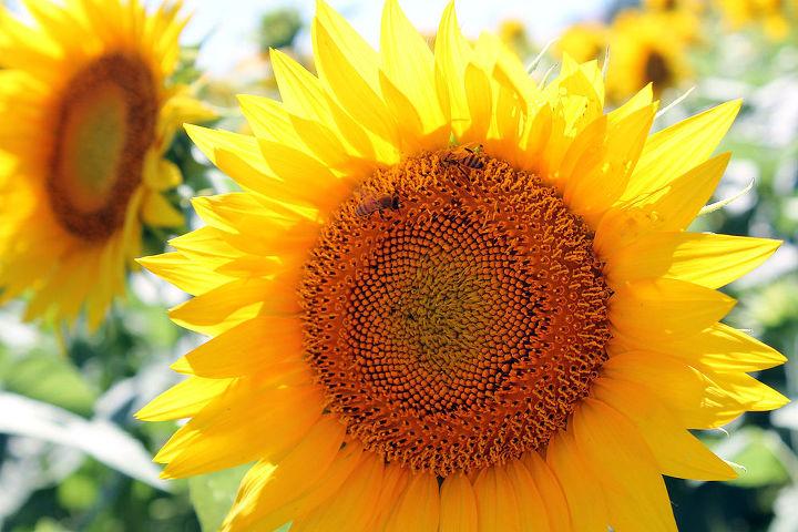 gardening sunflowers kansas, flowers, gardening